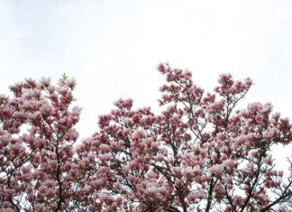 Jak wygląda magnolia